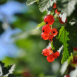 Colorful fresh green young branch with red currant close-up, Ser — Stock Photo