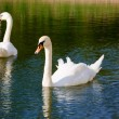 A couple of two lovely graceful swans on lake water, Sergiev Pos — Stock Photo