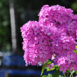 Colorful pink flowers close-up, Sergiev Posad, Moscow region, Ru — Stock Photo #32101227