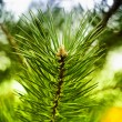 Colorful fresh green young pine branch close-up, Sergiev Posad, — Stock Photo #32101307