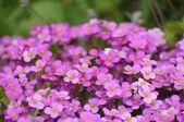 Violete lentebloemen in fulda, hessen, duitsland — Stockfoto