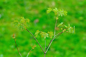 Pobočka čerstvých mladých javor v fulda, hesensko, německo — Stock fotografie