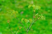 富尔达、 hessen、 德国新鲜年轻枫叶的分支 — 图库照片