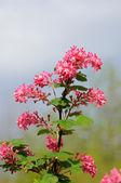 Rama de un árbol con pequeñas flores de color rosa en fulda, hessen, alemania — Foto de Stock