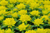 Yellow-green flowers in Fulda, Hessen, Germany — Stock Photo