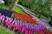 Pink, purple, red, violet, blue, white and yellow tulips in Keuk — Stock Photo