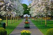 Alley with white blooming trees (Prunus triloba) in Keukenhof pa — Stock Photo