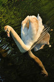 Graceful swimming swan in the rays of sunset in the river in Keu — Stock Photo