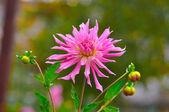 粉红色翠菊 (迦黛西) 特写时,莫斯科地区俄罗斯 — 图库照片
