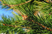 Colorful fresh green young pine branch with a young bud close-up — Stock Photo