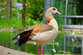鸭在柏 garten,河畔法兰克福 hessen,德国的特写 — 图库照片