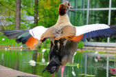 Duck spreading it's wings in closeup in Palmen Garten, Frankfurt — Stock Photo