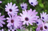 Five purple daisy closeup with green leaves background — Stock Photo
