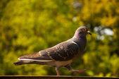 緑の背景の上を歩く鳩 — ストック写真