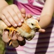 Hands of grandmother and grandchild and hen — Foto de Stock
