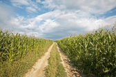 Way on the field of maize — Stock Photo