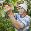 Grandmother and in her garden - raspberry — Stok fotoğraf