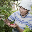 Foto de Stock  : Grandmother and in her garden - raspberry
