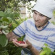 Grandmother and in her garden - raspberry — Stock Photo