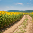 Way on field of sunflowers — Stock Photo