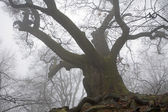 Very old oak in the fog — Stock Photo
