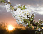 Fiori di ciliegio di tramonto — Foto Stock