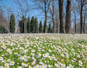 Daisy flowers in the park on Bologna — Stock Photo