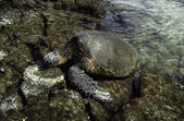 Hawaiin Sea Turtle — Stock Photo
