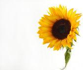One sunflower — Stock Photo