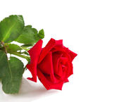 Red rose on white background — Stock Photo