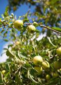 Apple tree with apples — Stock Photo