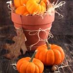 Fresh Miniature Pumpkins in the Pot. — Stock Photo