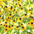 Stock Photo: Natural flowers background. Black eyed susplant in garden