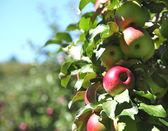 Pommes sur une branche d'arbre — Photo