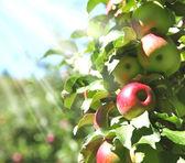 Apples on tree branch — Stock Photo
