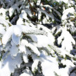 Spruce branch snow covered — Stock Photo