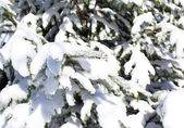 Spruce branch snow covered — Foto de Stock