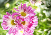 Pink Flowers. Shallow depth of field — Stock Photo