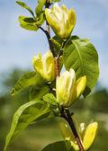 Yellow magnolia blossom. — Stock Photo