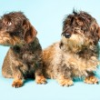 Royalty-Free Stock Photo: Two cute rough haired dachshunds together isolated on light blue background. Studio shot.