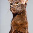 Oriental shorthair cat. Dark brown. Siamese breed. — Stock Photo #13517607