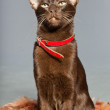 Oriental shorthair cat. Dark brown. Siamese breed. — Stock Photo