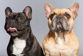 黒と茶色フランス ブルドッグの一緒に。面白い犬. — ストック写真