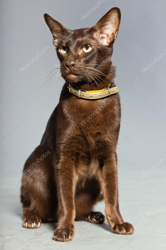 Oriental shorthair cat. Dark brown. Siamese breed. Studio shot isolated on grey background. — Stock Photo #13517600