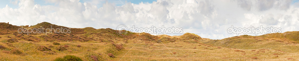 Panoramic shot of dutch dune landscape with scottish highlanders and stormy blue cloudy sky. Texel. Wadden island. The Netherlands. — Stock Photo #13520781