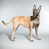Belgian Malinois. Belgian Shepherd Dog. — Stock Photo
