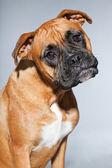 Boxer dog. — Stock Photo