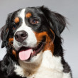Young berner sennen dog isolated on grey. — Stock Photo