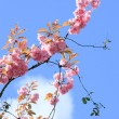 Pink blossom tree branch against blue sky — Stock Photo