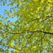 Tree leafs against blue sky. — Foto Stock